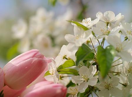 derni res heures de vos bulbes fleurs de printemps brageirac fleuri. Black Bedroom Furniture Sets. Home Design Ideas
